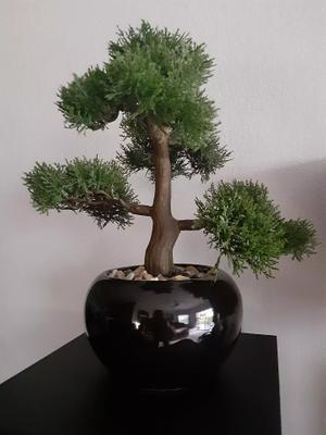 Bonsai For Sale In Us Us 5miles Buy And Sell