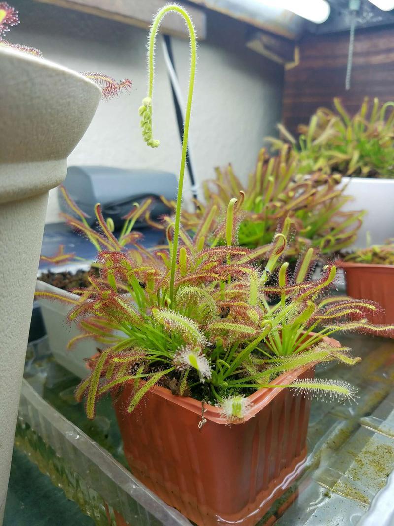 Dr. Ebergard Konig Drosera capensis rare Sundew carnivorous seedlings